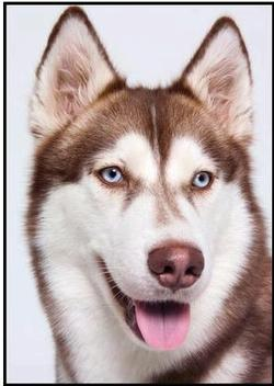 Photo of a Husky dog